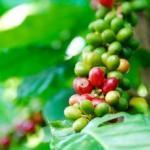 世界三大コーヒーの一つ! ハワイコナの特徴
